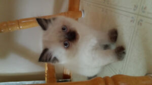 Beautiful Persian/Himalayan kittens!!!