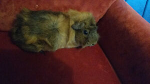 2 female guinea pigs Peterborough Peterborough Area image 2
