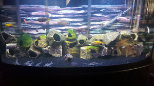 75 gallon tank 30+ african cichlids pleco and 6 pictus catfish