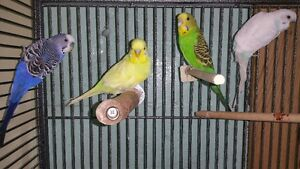 SUDBURY BIRD HOUSE (Budgies)