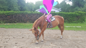 12 year old Belgian x quarter horse mare for sale