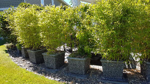 A BEAUTIFUL EXPOSED AGGREGATE PLANTER WITH MATURE BAMBOO SHRUBS