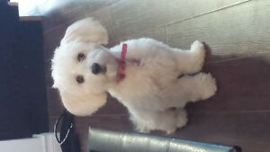 1 year old maltipoo for sale