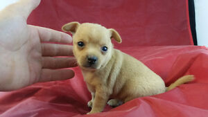 CHIHUAHUA PUPPIES, TEACUPS, READY NOW .