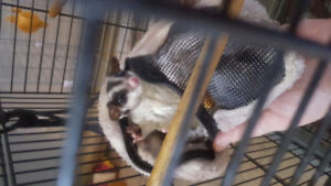 Sugar Glider in need of forever home.
