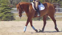 Lovely, Athletic gelding available for pb as of Oct1
