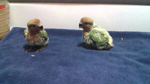 baby exotic bird parrots lovebird (1 avalable for reservation)