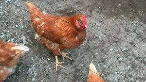 Needed Fertilized eggs for my Isa Brown hens -