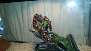 1 year old ball python with tank and accessories