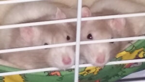 Looking for a female dumbo rat