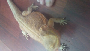 3 and a half year old bearded dragon .doesnt come with a tank