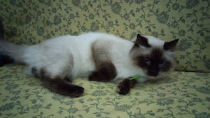 Young Adult Ragdoll Looking For New Home Windsor Region Ontario image 1