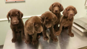 Beautiful Male CKC reg. Chocolate Labrador Puppies Ready to GO