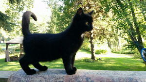 Black male kitten looking for new home
