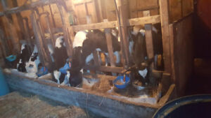 Calves for sale