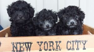 Simply Gorgeous Black/Silver Toy Poodle Babies