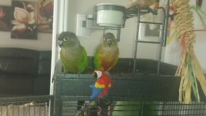 2 green  cheek conure  !must  go together