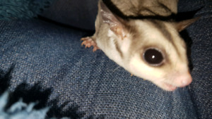 Female sugar glider Joey