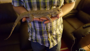 6 year old bearded dragon