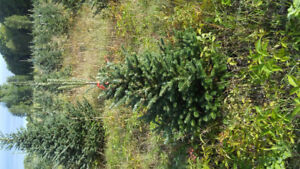 Trees for sale.  Evergreen potted trees.  Blue spruce and more
