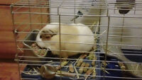 Free Guinea Pig