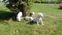 Billies Bulldog's  America Bulldog Puppies for sale