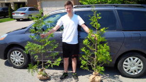 CEDAR HEDGE TREES * 1 DAY ONLY * FREE DELIVERY TO WOODSTOCK