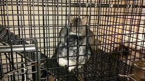2 beautiful chinchillas (with cage and toys)