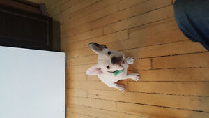 Want to breed my French and English puppy he is 4 months old