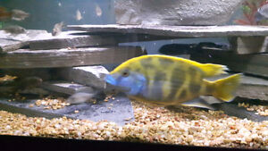 Ciclids for sale