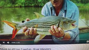 tiger fish vittatus