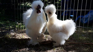 Gorgeous Pair of Bearded Silkies