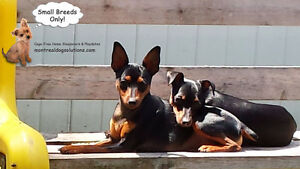 CAGE-FREE SITTING FOR SMALL DOGS SINCE 2010 BY CERTIFIED TRAINER West Island Greater Montréal image 7