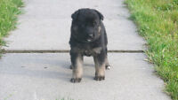 Purebred German Shepherd Puppies - ready to be go