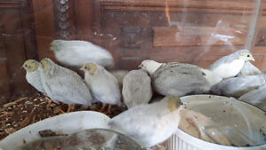 Button Quail For Sale