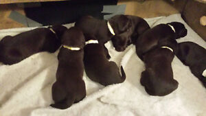 Chocolate lab puppies at Christmas