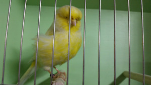 The collection of fine canaries