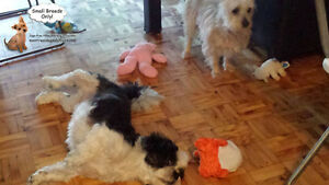 *FULL FOR HOLIDAYS* HAPPY LITTLE DOGS HOME DAYCARE SINCE 2010 West Island Greater Montréal image 3