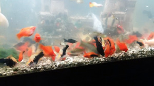 Guppy, Swordtail and Molly fish