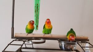 3 lovebirds with cage for sale
