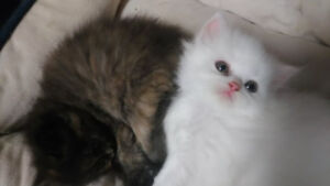 Gorgeous, Pure White, Male Persian Kittens