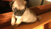 Pug Puppies For Sale! Only $700