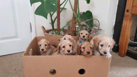 Ready in 1 wk+ Cockapoo Cockerpoo Puppy F1