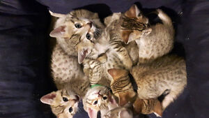 Bengal kittens ready for Xmas eve