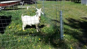 purebred Cashmere Goat for sale