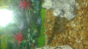 large pleco and standard size tinfoil barb in need of a new home