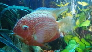 Large Albino Oscar and Red Streaked Severum For Sale