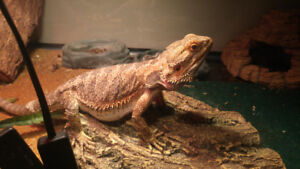 Bearded Dragon with accessories and tank