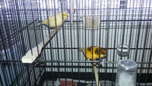 Norwich pair of canary(proven) male 2015 female 2016 (no cage) (
