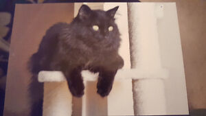 Long Haired Black Cat lost in South end NF